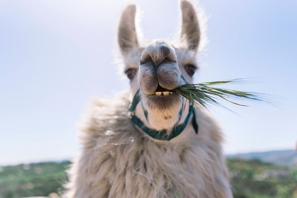 Emerald-peak-shoot-frank-the-llama-eating-some-grass-looking-at-the-camera