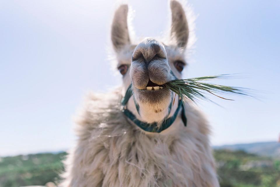 Why You Need A Llama At Your Wedding Friar Tux