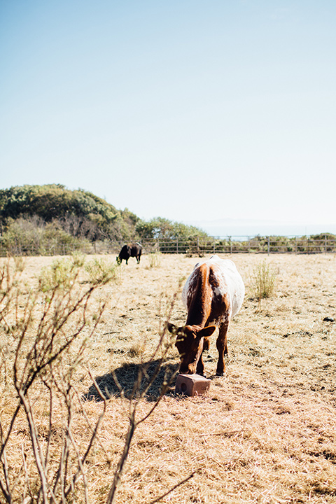 Dos-pueblos-orchid-farm-wedding-cow-eating-grass-on-the-venue-property
